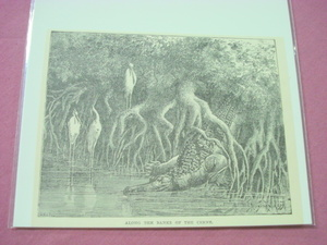 1889 Africa Illustrated Page Crocodile Along the Cerne