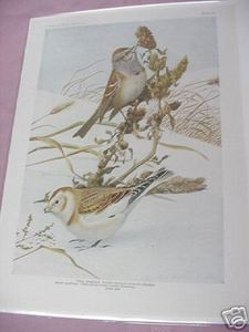1917 Color Illustrated Bird Page Tree Sparrow, Snow Bunting