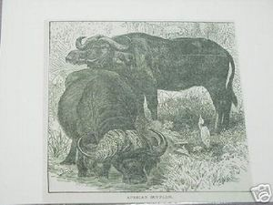 1889 Africa Illustrated Page African Buffalo