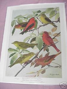 1917 Color Illustrated Bird Page Scarlet & Summer Tanager