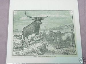1889 Africa Illustrated Page Cattle in the Nile Region