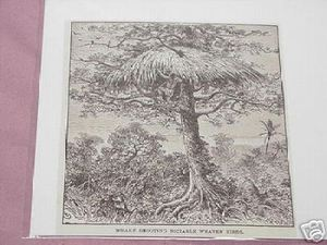 1889 Africa Illustrated Page Dwarf Shooting Birds
