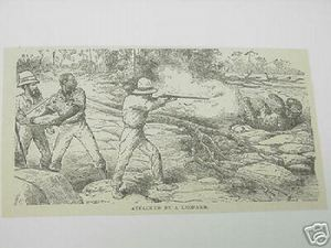 1889 Africa Illustrated Page Attacked By A Leopard