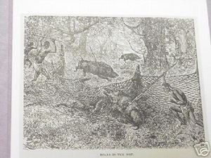 1889 Africa Illustrated Page Boars In the Net