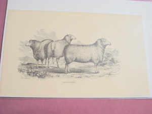 1880 Illustrated Page Cotswold Sheep