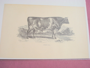 1880 Illustrated Page Ayrshire Bull