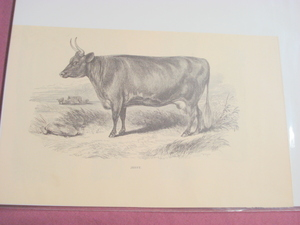1880 Illustrated Page Jenny Breed of Cow