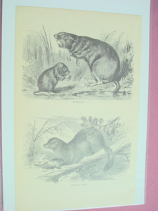 1880 Illustrated Page Muskquash and American Sable