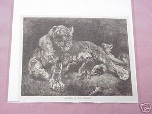 1889 Africa Illustrated Page Lioness and Her Cubs