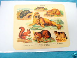 1920's Mammals Color Page Walrus, Hedgehog, Beaver