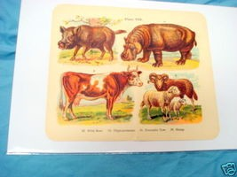 1920's Mammals Color Page Hippopotamus, Cow, Sheep