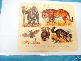 1920's Mammals Color Page Chimpanzee, Tiger, Wildcat